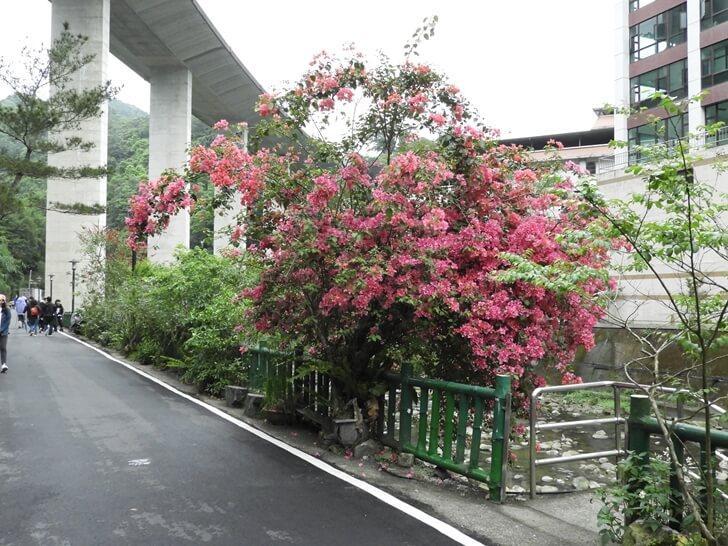 石碇溪旁的樹開花了